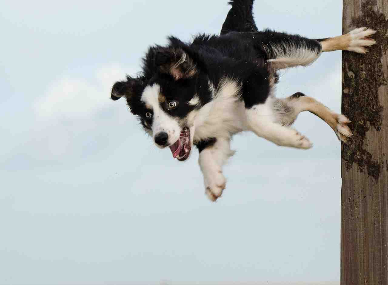 hundesport, border collie, truc de chien